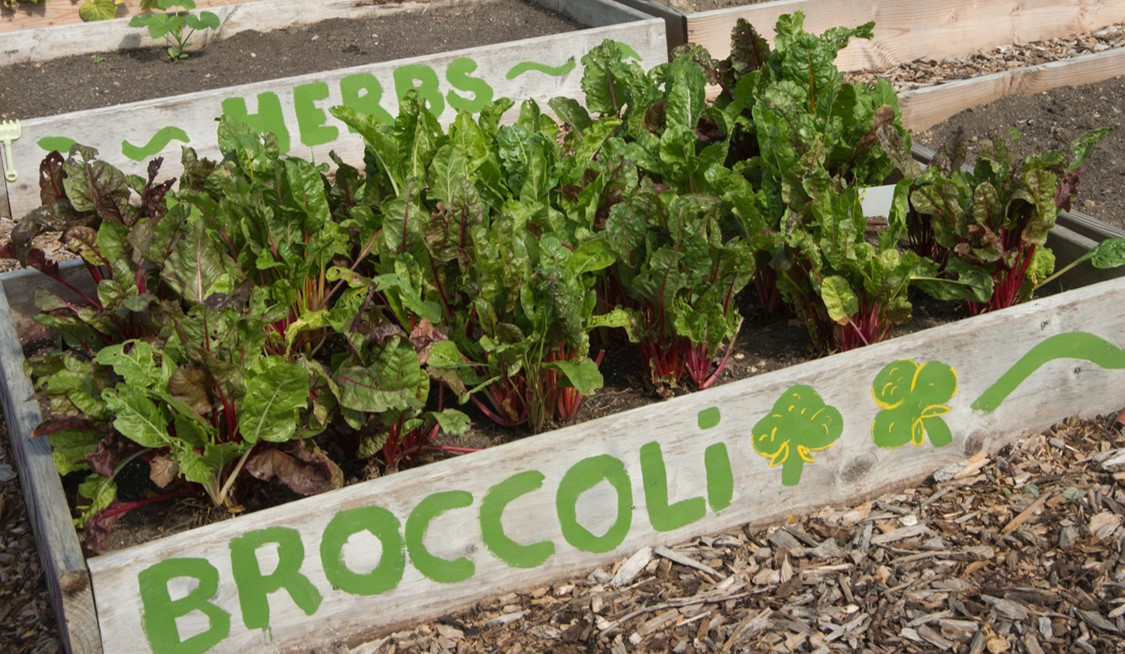 Community garden bed labeled as broccoli