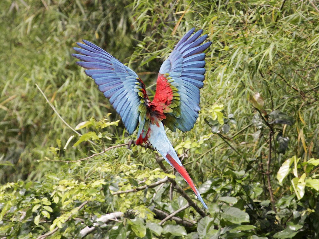 Green and red parrot in a Peruvian nature preserve