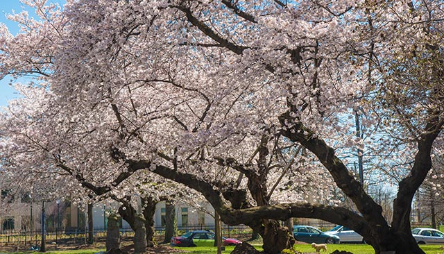 One of the Korean cherry trees on campus, in full bloom