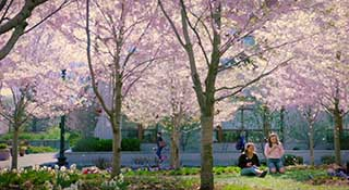 Cherry blossoms on the American University quad.