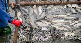 Seafood industry worker with fish stocks. Getty.