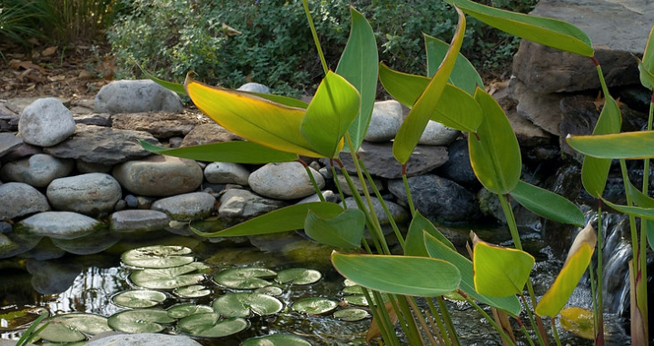 Pond with water lilies, stone embankment and pond fronds