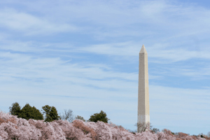 The Washington Monument surrounded by cherry blossoms