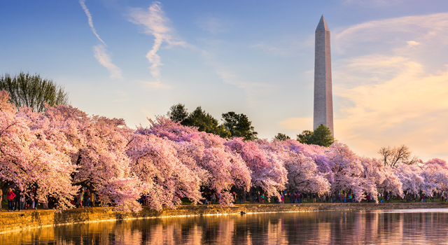 Washington Monument overlooking cherry blossoms along the Tidal Basin