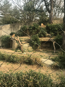 lions at the National Zoo (Smithsonian National Zoological Park)