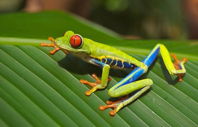 close up of electric-colored tree frog in Costa Rican rainforest