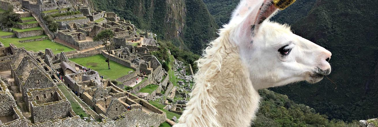 llama looks into the distance with Machu Picchu behind it
