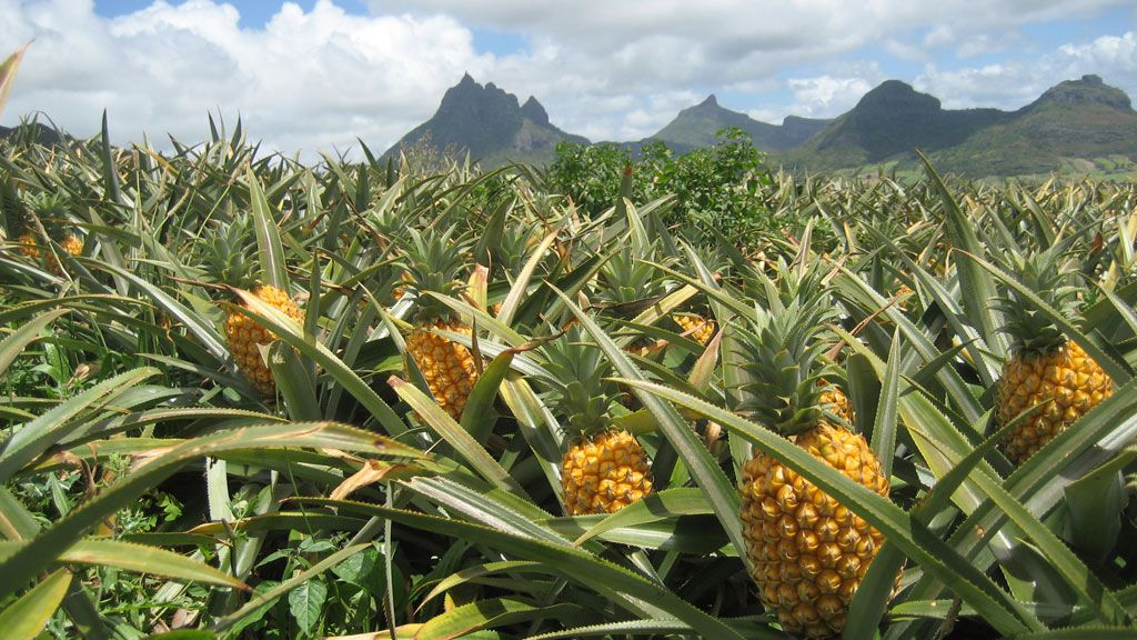 Costa Rica is one of the world's leading exporters of pineapples.