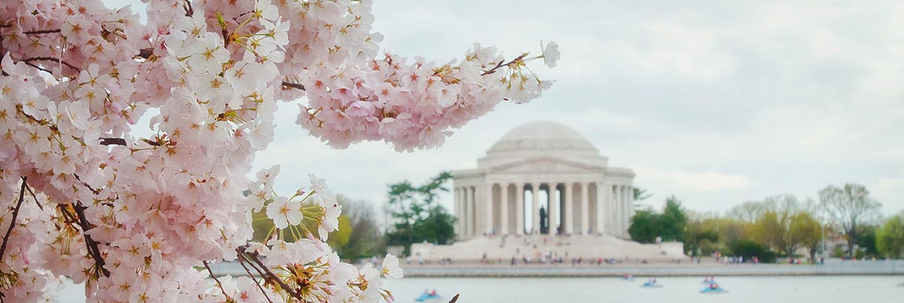 cherry blossoms in full bloom over the tidal basin with the Jefferson Memorial in the distance