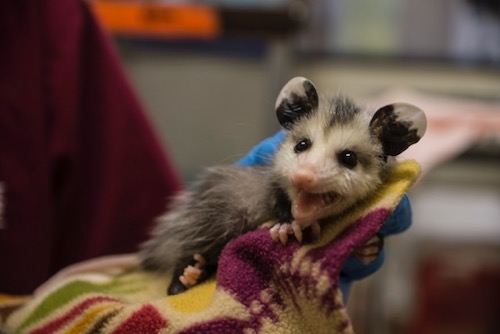 A baby possum in a blanket.