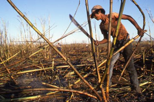 A field worker harvests sugar cane with a machete