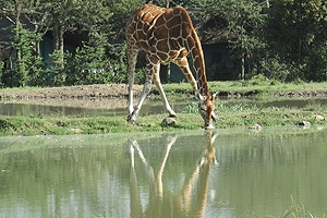 Giraffe drinking from pond at Ol Pejeta Conservancy