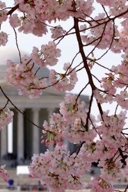 The Cherry Blossoms in bloom at the Jefferson Memorial