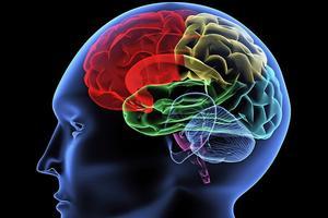 illustration of human brain, colored.