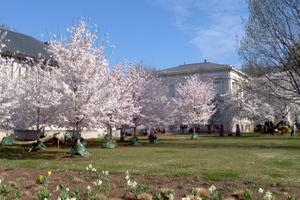 Cherry trees in full bloom outside of the School of International Service