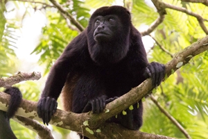 Mantled howler monkey on a tree branch in Costa Rica