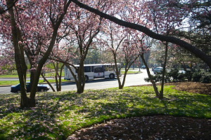 Ward Circle with Cherry Blossom Trees