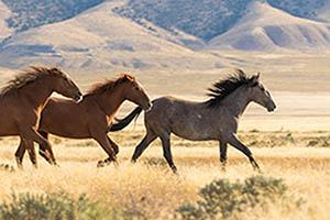 Herd of wild horses running across a plain with hills in the background