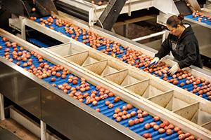 Agricultural worker in factory sorts apples off a conveyor belt