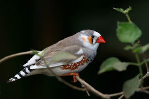 Colin Saldanha studies the brains of adult male zebra finches to explore the mysteries of estrogen production and provision.