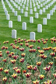 Tulips and gravestones at Arlington National Cemetery, photograph by Alyssa Wolice