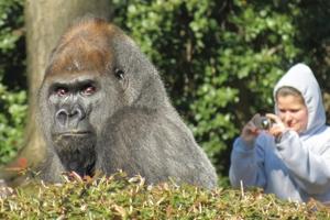 The gorilla Baraka with Kim Kramer in the background.