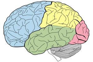 Diagram of regions of the brain