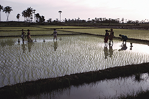 Photo: Women in the rice fields
