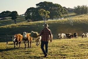 Cows on rural landscape