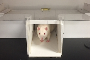 Albino rat peering out from a small wooden box