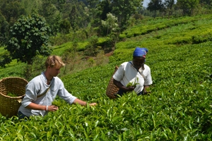 Sam Sturgis picks tea in Kenya during his study abroad experience.