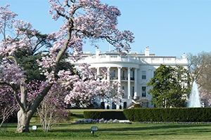 White House during cherry blossom season