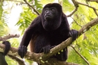 Mantled howler monkey on a tree branch in Costa Rica. To understand habitat quality, Dorian Russell observes mantled howler monkeys in the Costa Rican rainforest. Credit: Aspen Russell.
