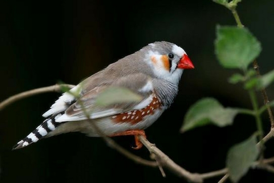 A zebra finch perched.
