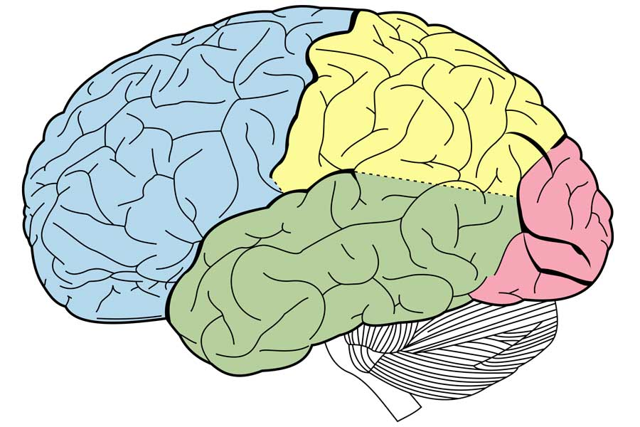 Diagram of regions of the brain