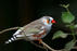 Songbird Synapses and Glial Cells Can Make Estrogen